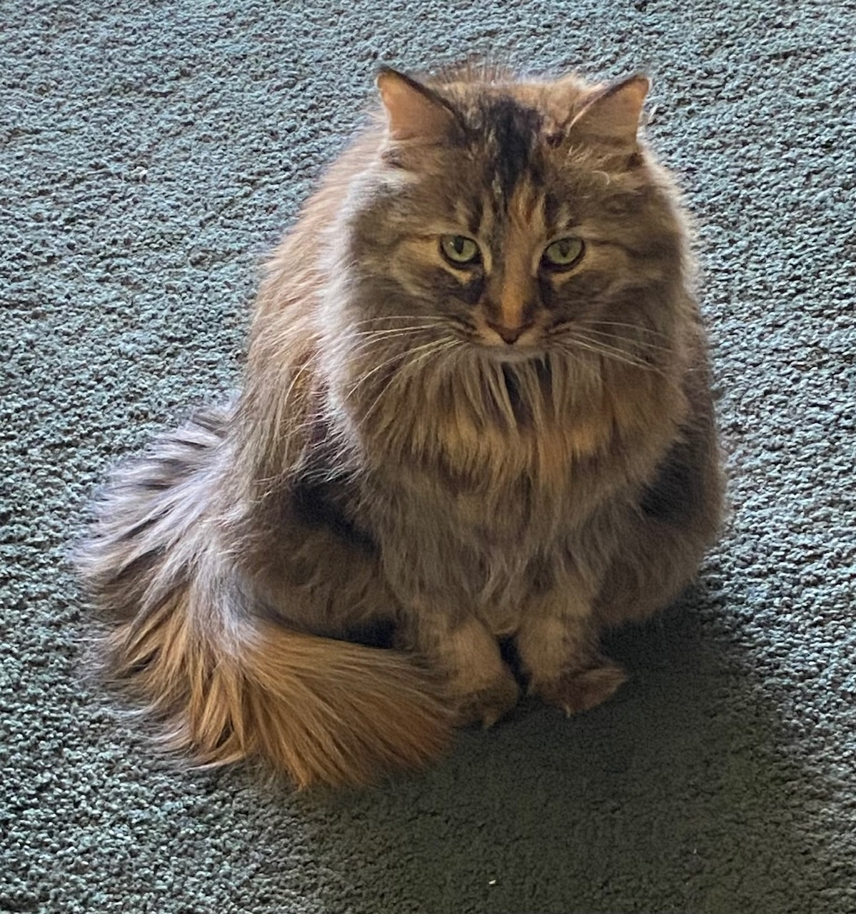 PIcture of Gidget-Long-haired calico cat, sitting on a blue rug, staring at camera. Extroverted Introvert